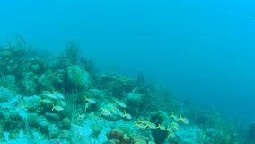 Coral life caribbean sea Bonaire island underwater diving  1080P video. Coral life underwater video 1080p Caribbean Sea stock video footage