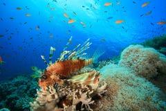coral lionfish reef στοκ φωτογραφία με δικαίωμα ελεύθερης χρήσης