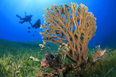 Coral, Lionfish and Scuba Divers Stock Photo