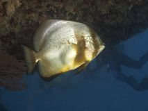Coral Longfin spadefish Stock Photo