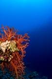 Coral macio Foto de Stock