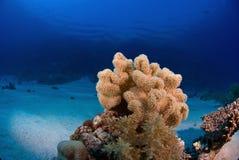 Coral macio Fotos de Stock Royalty Free
