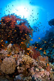 Coral macio Foto de Stock Royalty Free