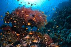 Coral macio fotografia de stock royalty free