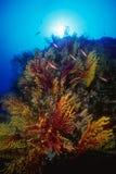 coral macio Fotografia de Stock