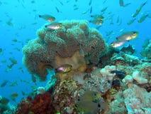 Coral macio Imagem de Stock