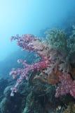 Coral macio colorido fora do capelão Purgos, Leyte, Filipinas Foto de Stock
