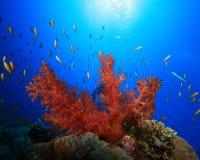 Coral macio e Lyretail Anthias Imagens de Stock