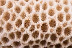 Coral Macro. Macro closeup of the surface of a round coral Royalty Free Stock Photo