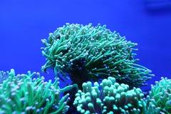 Coral maravilhoso Fotografia de Stock