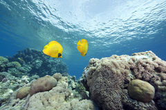 Coral and masked butterflyfish Stock Photo