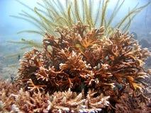 coral mocno Fotografia Royalty Free