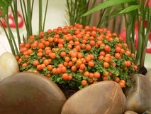 Coral Moss. Beautiful coral moss bead plant Stock Photos
