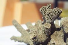 Coral muerto que parece colmena del cerebro o de la abeja Fotos de archivo