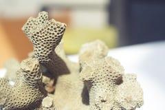 Coral muerto que parece colmena del cerebro o de la abeja Fotografía de archivo