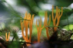 Coral mushroom Royalty Free Stock Photography