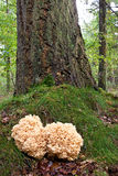 Coral mushroom near a tree trunk Royalty Free Stock Image