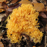 Coral mushroom Ramaria flava Changle Stock Photos