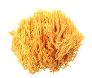 Coral mushroom Ramaria flava Changle Stock Images