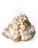 Coral na pedra Imagens de Stock