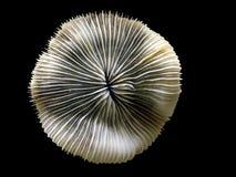 Coral no fundo preto Imagem de Stock Royalty Free