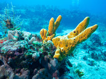 Coral off Isla Mujeres, mexico Royalty Free Stock Photography