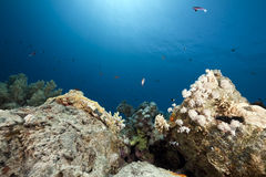 Coral on oil barrels. Coral on oil barrals  in the Red Sea Royalty Free Stock Photo