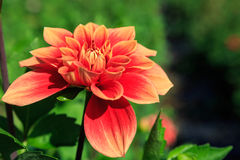 Coral Orange Dahlia in Garden Royalty Free Stock Images