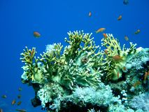 Coral and orange fish Royalty Free Stock Photo