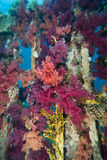 Coral púrpura vibrante del bróculi Fotografía de archivo libre de regalías