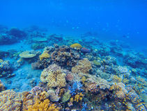 Coral panorama in tropical seashore. Undersea landscape photo. Fauna and flora of tropical shore. Coral reef underwater photo. Snorkeling in tropics. Exotic Royalty Free Stock Photography