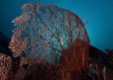 Coral, Papuásia-Nova Guiné Fotografia de Stock Royalty Free