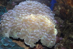 Coral. Pearl bubble coral in Hawaii Royalty Free Stock Image