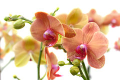 Coral Phalaenopsis orchid on white (soft focus) Royalty Free Stock Images