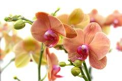 Coral Phalaenopsis-orchidee op wit (zachte nadruk) Royalty-vrije Stock Afbeeldingen