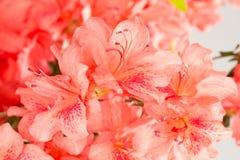 Coral pink azalea flowers stock photography