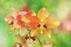 Coral pink color Spathoglottis or Ground orchid flower, soft focus. Royalty Free Stock Photography