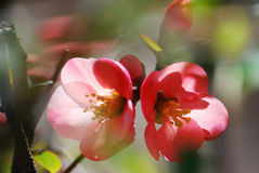Coral pink floral blossom with gorgeous blurred background. Royalty Free Stock Images