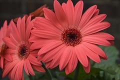 Gerber Daisies. Coral pink gerber daisies up close royalty free stock photos