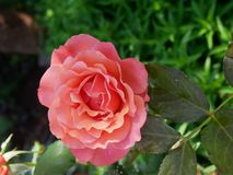Coral Pink Rose in full bloom. Coral Pink Rose on stem in full bloom royalty free stock photo