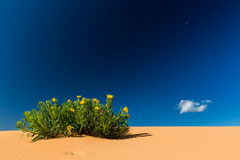 Coral Pink Sand Dunes. Scabrethia in Coral Pink Sand Dunes State Park, Utah Stock Images