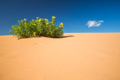Coral Pink Sand Dunes. Scabrethia in Coral Pink Sand Dunes State Park, Utah Royalty Free Stock Image