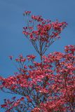 Coral pink of spring blooming dogwood flowers on dogwood tree against a clear blue sky, as a background, springtime in the Pacific royalty free stock image