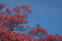 Coral pink of spring blooming dogwood flowers on dogwood tree against a clear blue sky, as a background, springtime in the Pacific royalty free stock photos
