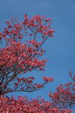 Coral pink of spring blooming dogwood flowers on dogwood tree against a clear blue sky, as a background, springtime in the Pacific stock photography