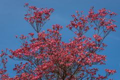 Coral pink of spring blooming dogwood flowers on dogwood tree against a clear blue sky, as a background, springtime in the Pacific stock photo
