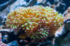 Coral polyp  Royalty Free Stock Photo