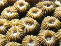 Coral Polyps Royalty Free Stock Image