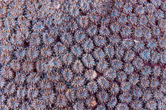 Coral polyps pattern and texture. The underwater coral`s polyps pattern and texture Stock Image