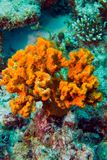 Coral polyps on the reef off the coast of Maldives Stock Photography